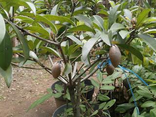 cara menanam sawo dalam pot