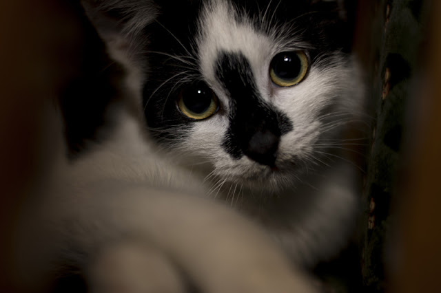 A beautiful but sad black and white kitten with wide eyes