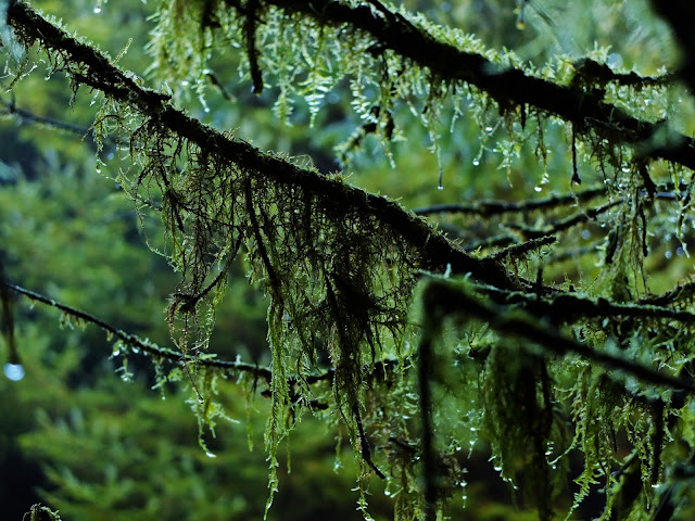 Moss hanging of conifer tree branches in Irish woodlands.