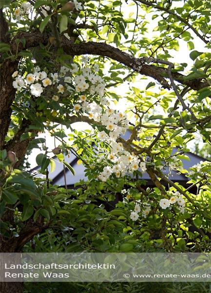 Ramblerrosen für den Garten - herrlich duftende Blüten im Juni