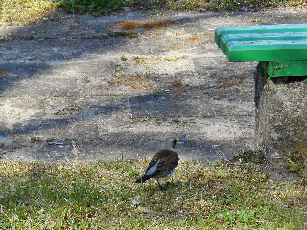 ptak, kwiczoł, ławka, trawa
