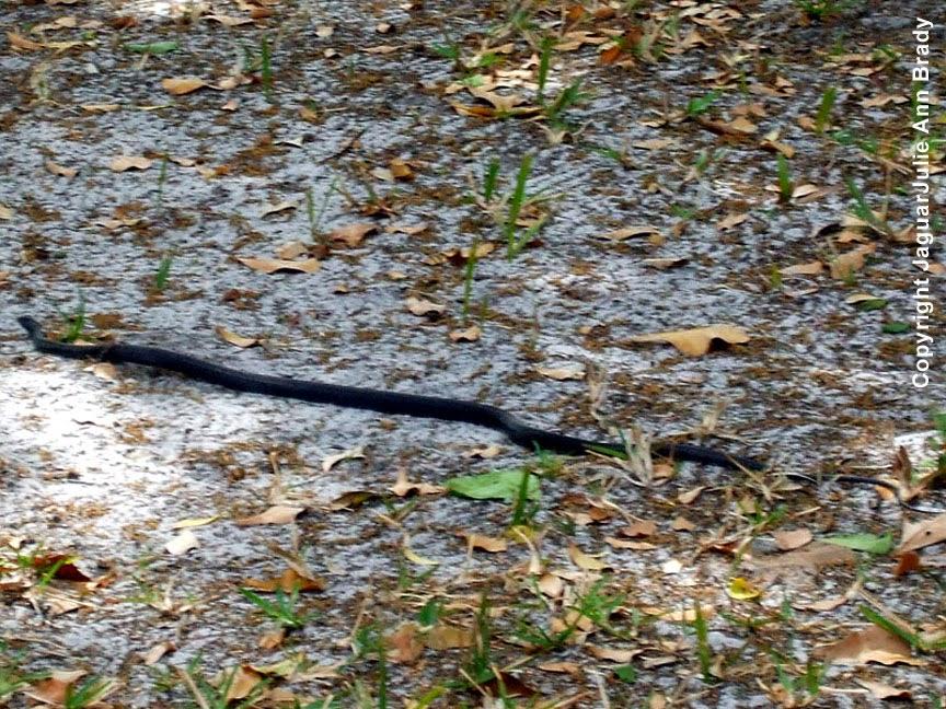 Black Racer Snake ~ Jacksonville Florida