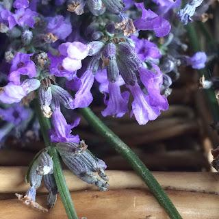 Closeup Lavender Buds