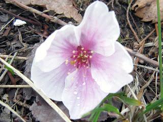 落下した桜の花が天を仰いでいる