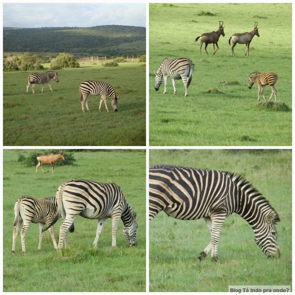 zebras na África do Sul