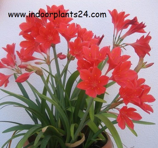 Cyrtanthus Elatus plant guide