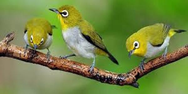 burung pleci jantan