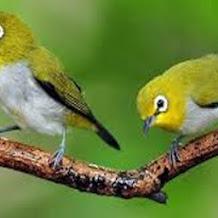 4 Cara Memilih Burung Pleci Jantan Dan Juara