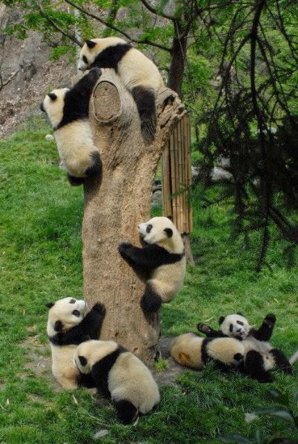 fotografias de osos panda jugando en el tronco de un arbol