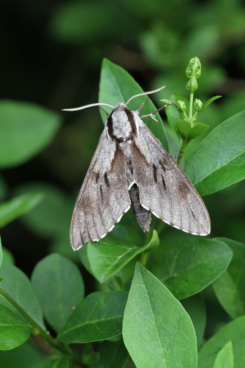 Marshland Meanderings Hawk Moths Galore