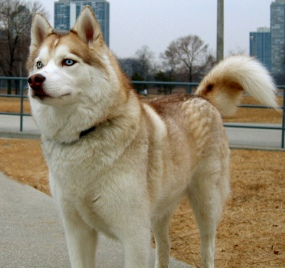 The Unique Coat Colors Of The Siberian Husky Pets Cute And Docile