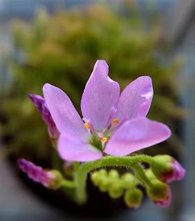 kwiat rosiczki