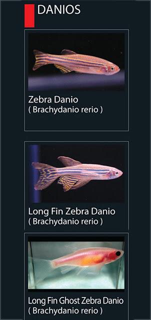 3. Long fin ghost zebra danio Nama latin Brachydanio rerio1. Zebra Danio  Nama latin Brachydanio Rerio  2. Long fin Zebra danio Nama latin Brachydanio rerio
