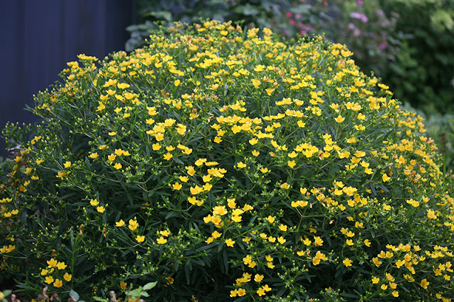 Sunny Boulevard Hypericum from Proven Winners ColorChoice