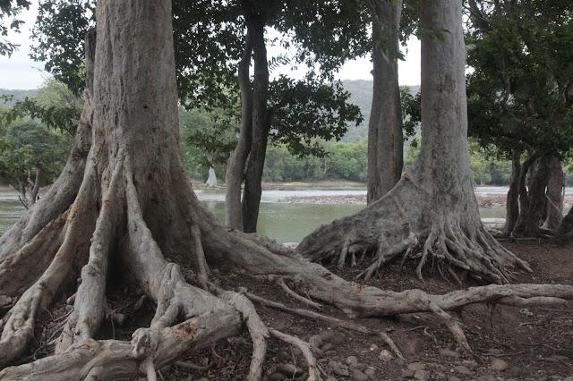 racines ficus inde