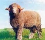 jenis-jenis domba yang ada dibelahan bumi