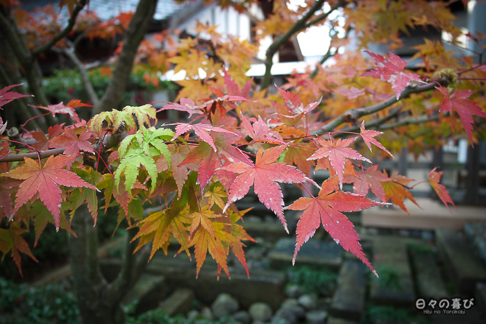 feuilles momiji
