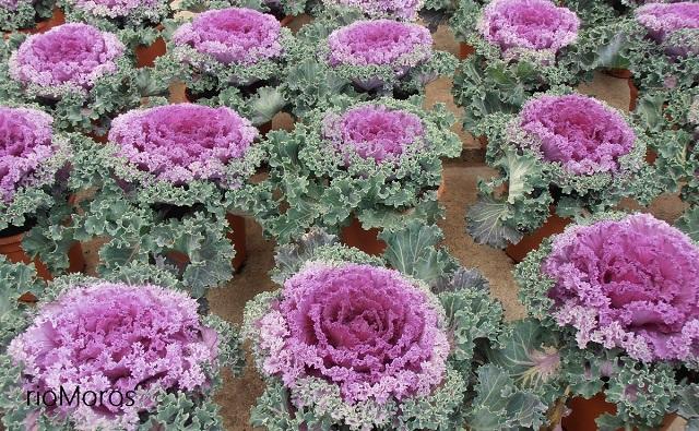 Berza ornamental, col de adorno Brassica oleracea
