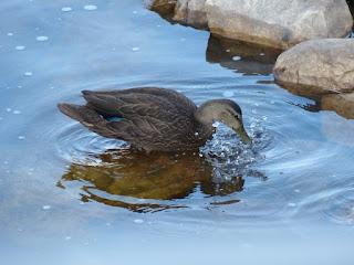 Canard noir - Anas rubripes
