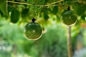 11 Manfaat buah markisa bagi kesehatan