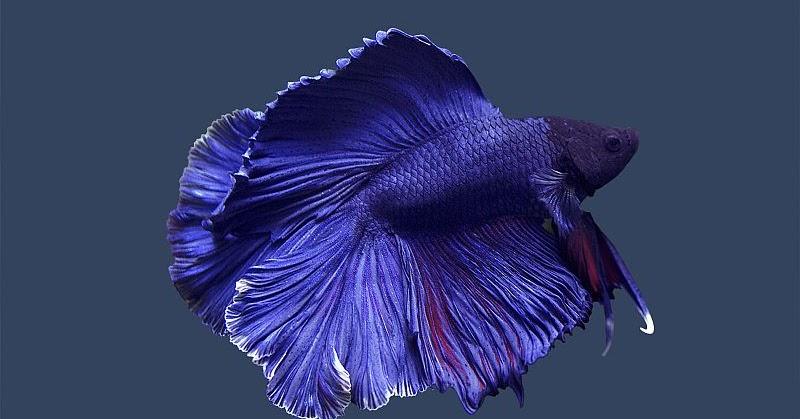 Ikan Pelaga Cantik Tetapi Garang |MyRokan