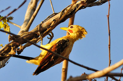 Carpintero amarillo Celeus flavus