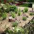 Zahrada: Pěstování levandule - zakládáme nový levandulový záhon