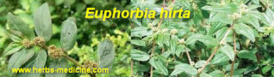 Breast pain  use Euphorbia hirta