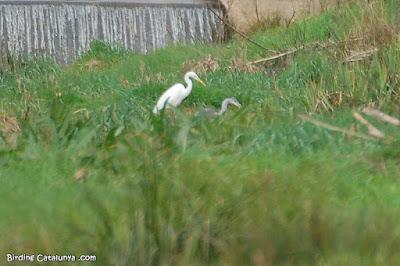 Agró blanc (Casmerodius albus) i bernat pescaire (Ardea cinerea)