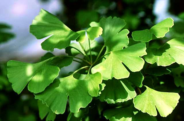 For instance, in one study, ginkgo biloba was given to 80 tinnitus patients, 21 of whom claimed benefit 1