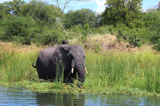 An elephant drinks from the Shire River