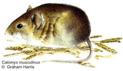 Drylands Vesper Mouse