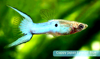 Gambar Guppy Japan Blue