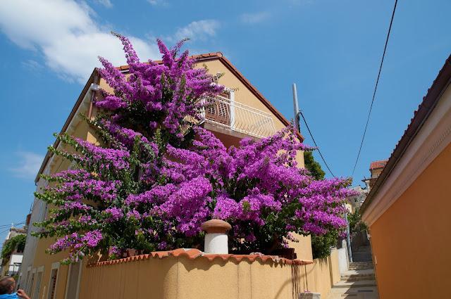 kwitnące kwiaty w Chorwacji, lipiec, wakacje