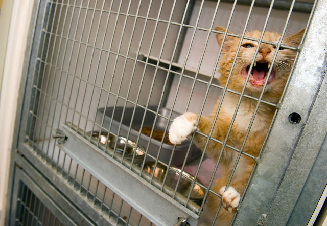 Orange cat crying in shelter cage