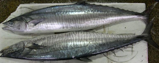 h termasuk golongan ikan pelagis dan salah satu ikan berdaging putih  Kabar Terbaru- IKAN TENGGIRI