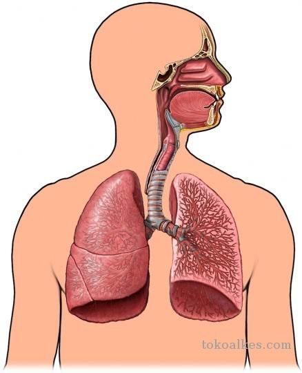 Biologi Gonzaga Ujian Sistem Respirasi Kelas Xi