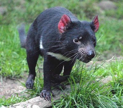 What is Tasmanian Devil? Facts and Quick Info 9