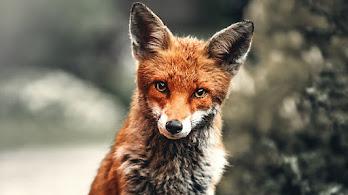 Red Fox, 8K, #4.549
