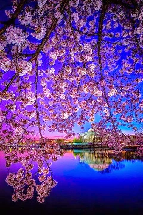 amazing cherry blossom wallpapers for smartphone cherry blossom in japan my world. Black Bedroom Furniture Sets. Home Design Ideas