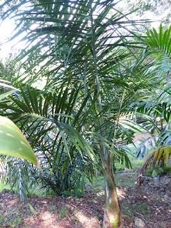 Gaussia maya - Palmier maya