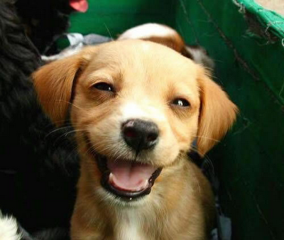 Cão sorrindo