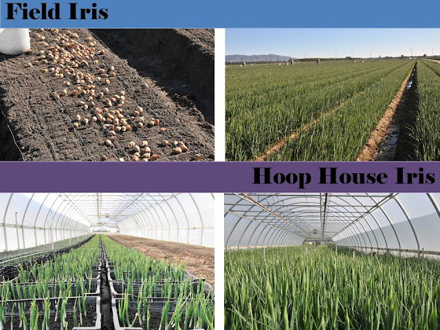 Growing Hoop House Iris