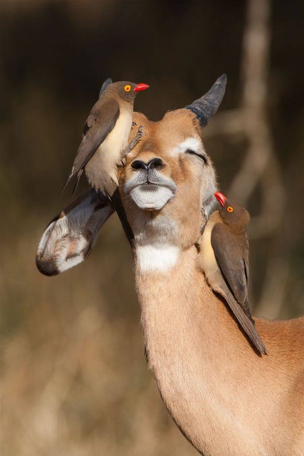 oxbird and antelope relationship tips