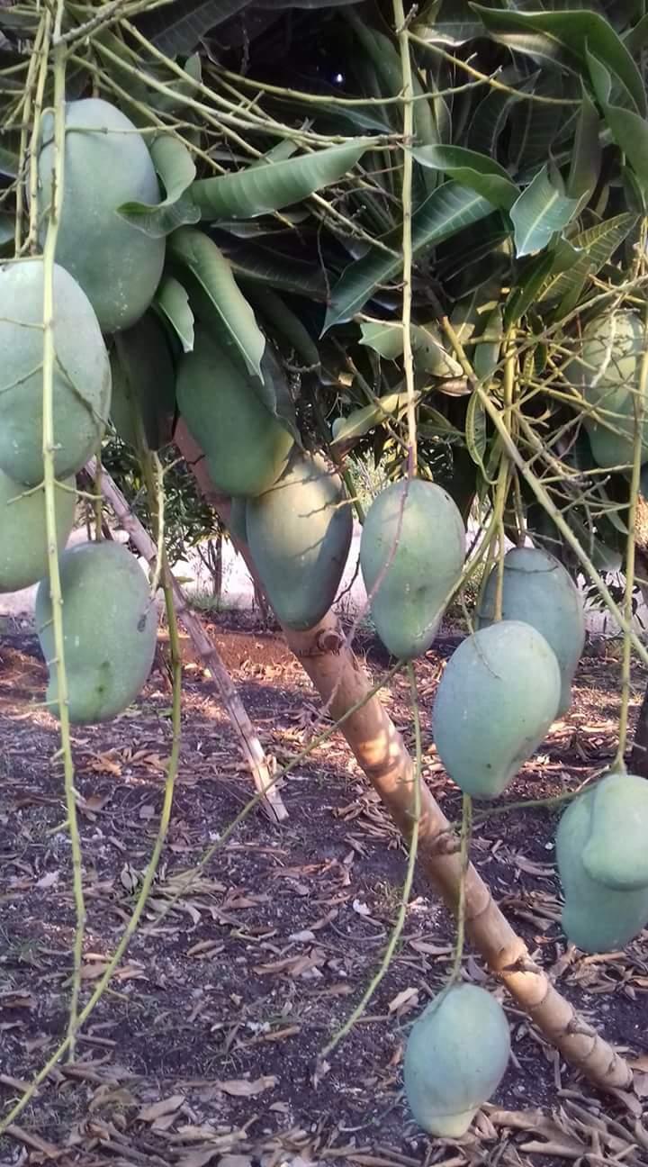 Pohon Mangga Arumanis Berbuah Lebat