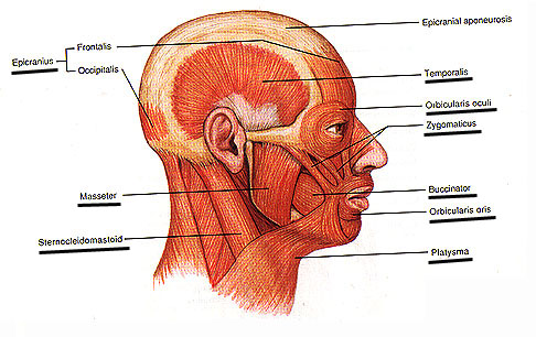 Muscles Of Facial Expression And Mastication 105