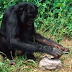 Congo: Um grupo de chipanzés parece dominar o fogo e intriga primatologistas e cientistas do mundo