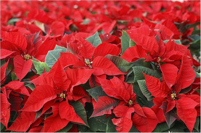 Eva rodr guez bra a la navidad for Plantas de interior hojas rojas
