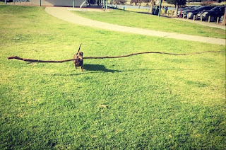 dachshund with giant stick