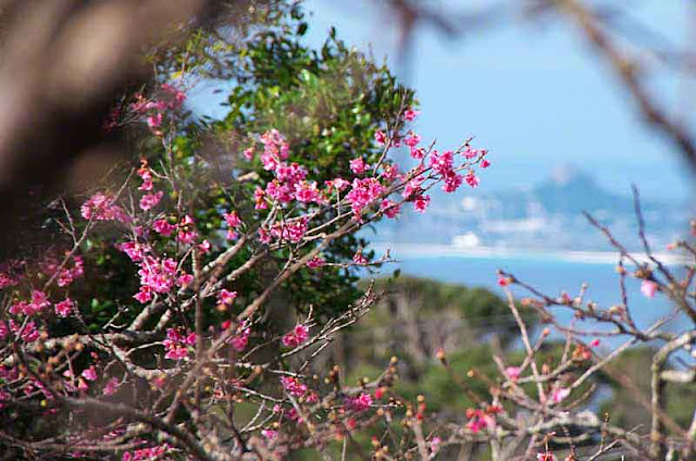 Ie-jima island through cherry blossoms on Mt. Yaedake